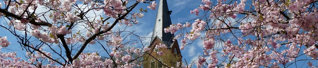 Rosa Blühender Kirschbaum im Frühling, die Kirche von Neermoor im Hintergrund