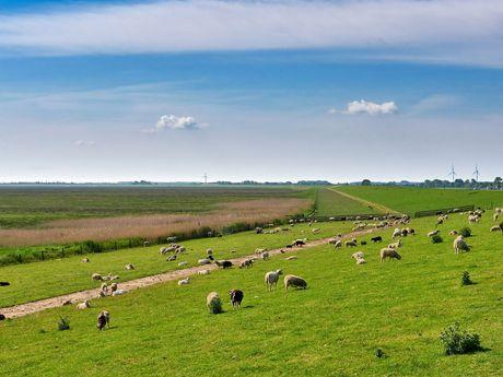 Schafe auf dem Deich in Dangast